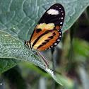 Lysimnia Tigerwing laying eggs
