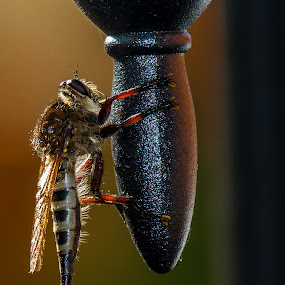 Assassin Bug Robber Fly by Robert Marquis - Animals Insects & Spiders ( detail, nature, texas, flying insect, insects, insect, robber fly,  )