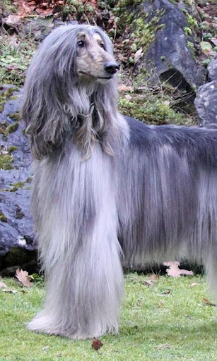 Afghan Hounds Jigsaw Puzzle