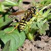 European Paper Wasp (female)