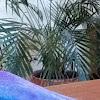 Golden Cane Palm, Areca Palm, Butterfly Palm