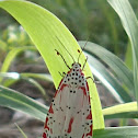 Ornate Moth