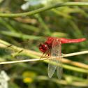 Crocothemis erythraea ♂ (κόκκινη λιβελούλη)