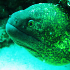 Speckled moray