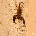 European yellow-tailed scorpion