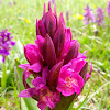 Elder-flowered Orchid