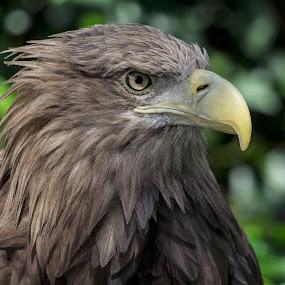 BELLEZA by Miguel Lopez De Haro - Animals Birds ( aves, aguila, naturaleza,  )
