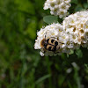 Bee Chafer Beetle