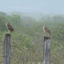 Burrowing Owl (coruja-buraqueira)