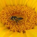 Leaf Cutter Bee (UK)