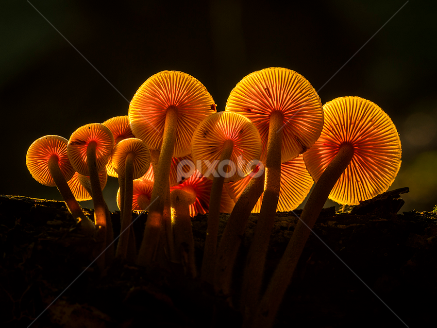 Like lamps in the dark by Peter Samuelsson - Nature Up Close Mushrooms & Fungi