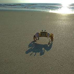 Good Morning Friends. by William Stewart - Animals Sea Creatures ( natural light, sea creatures, sea, ocean, seascape, beach, crab, shadows, nature, shadow, outdoors, sunrise, animal )