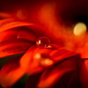 drop by Andrej Folo - Flowers Single Flower ( orange, petals, drop, focus, dof, light, flower,  )