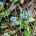 Kashmir Corydalis, Blue Corydalis