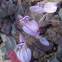 Tinctureplant