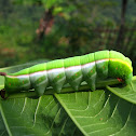 Hawk-moth Caterpillar