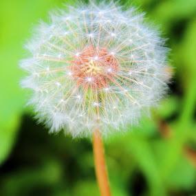 Dandelion by Daniel MV - Nature Up Close Other plants