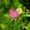 Hot pink Silene wildflower