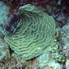 Sunray Lettuce Coral