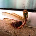 Purple-winged Mantis