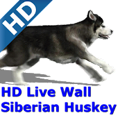 Dog Siberian Huskey HD FREE