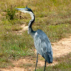 Black-headed heron