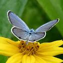 Ceranus blue butterfly