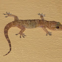 Moorish Wall Gecko