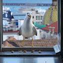 Caspian Gull (Gabbiano)
