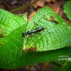 Flightless Tiger Beetle