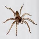 Baby Brown Huntsman Spiders