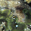 Barrier Reef Anemonefish (Amphiprion akindynos)