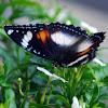 Java Butterfly