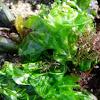 Lechuga de mar. Sea-lettuce