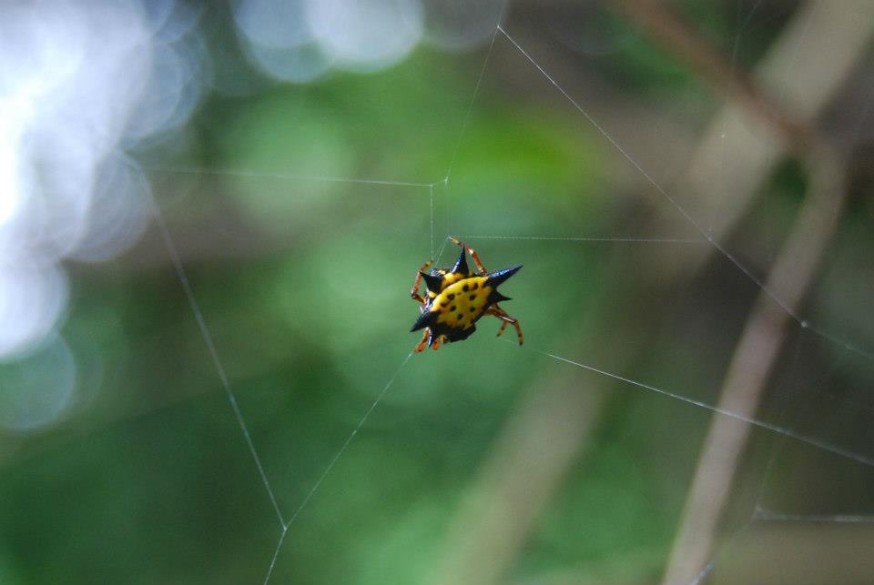 Hasselt's spiny-backed Orb weaver