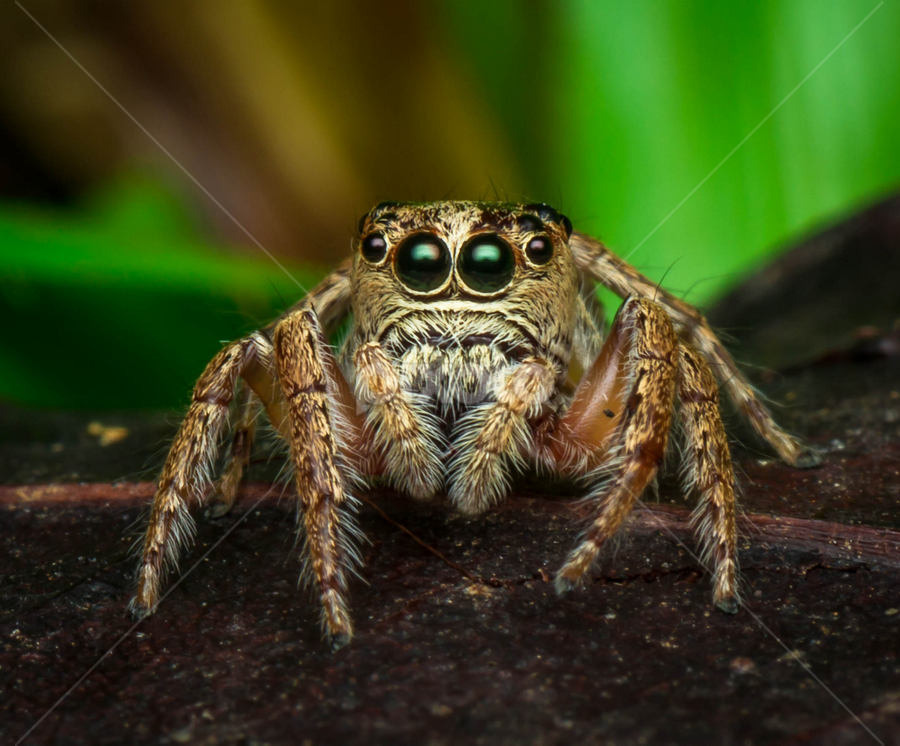 Baby Salticidae by Dave Lerio - Animals Insects & Spiders ( jumping, salticidae, spider )