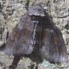 Pine False Looper Moth