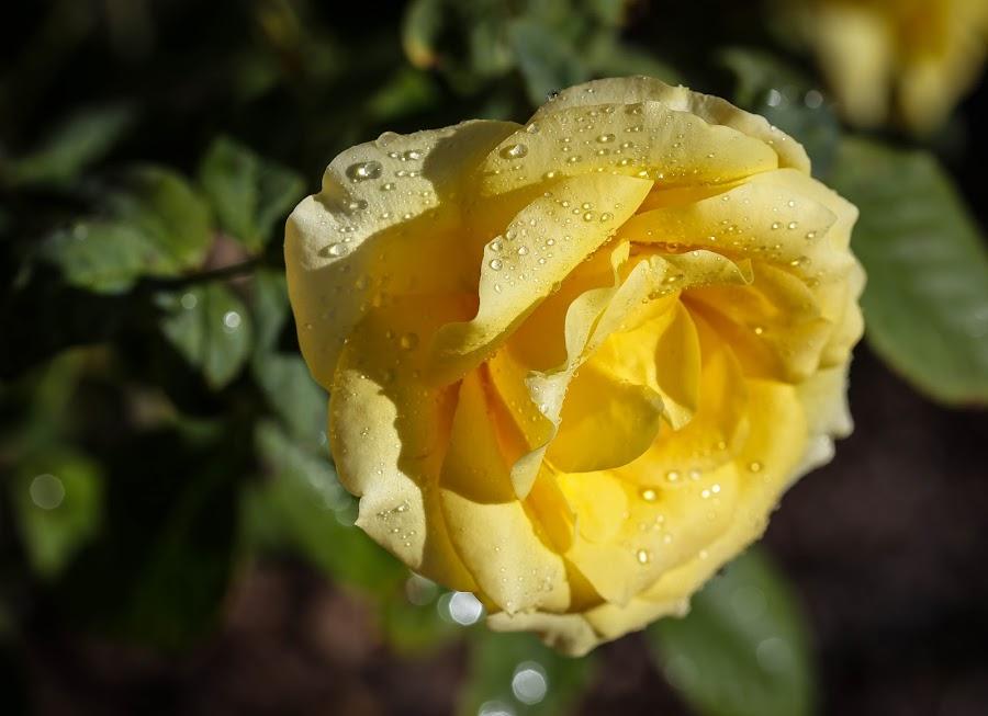 Yellow Rose by Jared Lantzman - Flowers Flower Gardens ( love, rose, wild, single, colorful, yellow, pretty, blossom, flower,  )