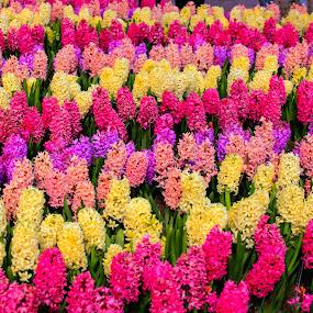 gorgeous flower garden by Marjorie Speiser - Flowers Flower Gardens ( spring colorful flowers, color, holland, flowers, spring, rows )