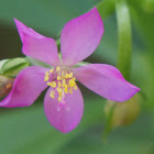 Surinum Purslane, Ceylon Spinach, Waterleaf