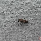 Western Box Elder Bug or Maple Bug