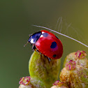 5-spotted ladybird