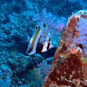 Two-eyed coralfish