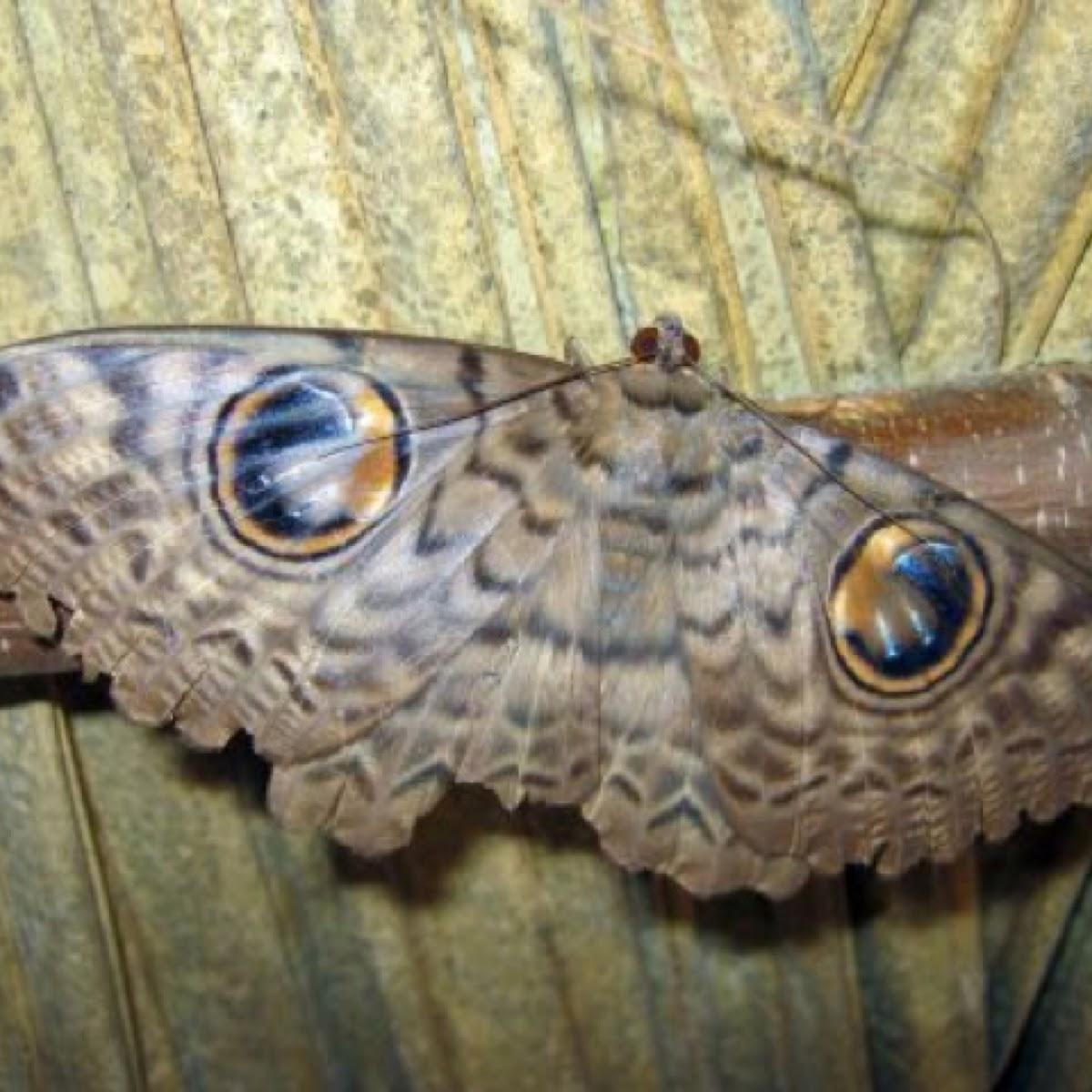 Erebus macrops