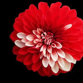FLower : Dalia by Manabendra Dey - Flowers Single Flower ( isolated subject, dalia, digha, amarabati park, dahlia, flower, isolated flower )