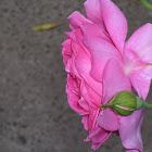 Hundred Petaled Rose