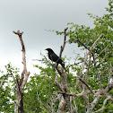 Tordo (Bronzed Cowbird)