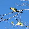 Monk Parakeet/Quaker Parrot
