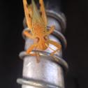 Grasshopper species