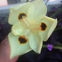 Bicolor iris
